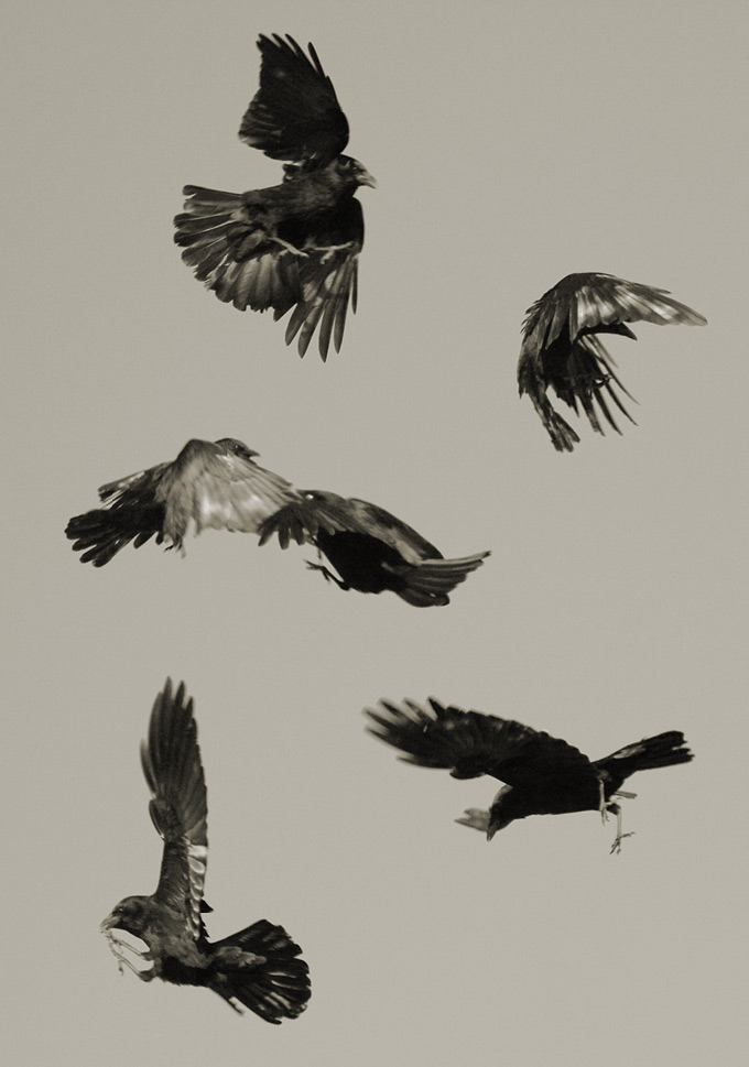Crow fight